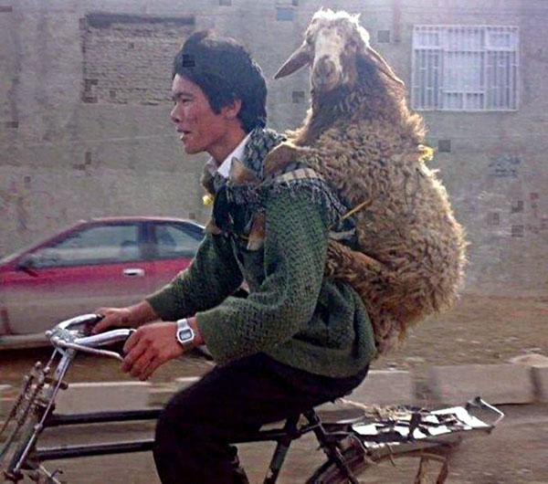 человек с овцой на велосипеде